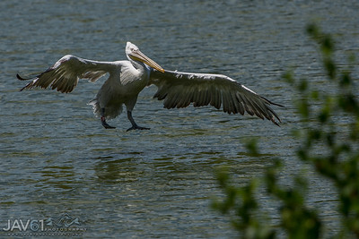 Dalmatian Pelican walking on water
