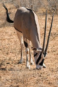 Common Beisa Oryx in Samburu, Africa.