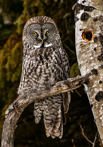 Great Grey Owl-Stoney Point Rd, North Shore
