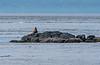Sea Lion sentinel