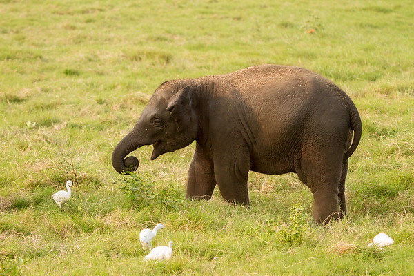 Young elephant
