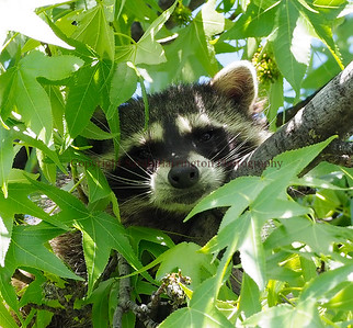 Is that a raccoon in my tree?