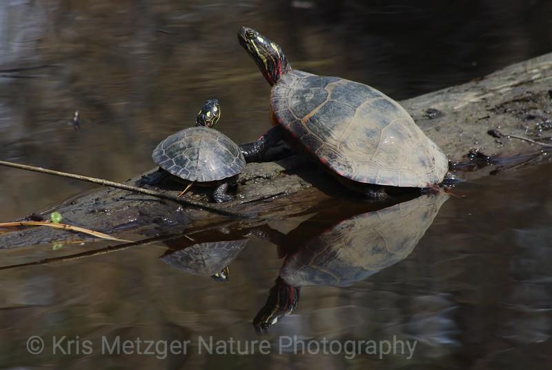 Eastern Painted Turtles Basking