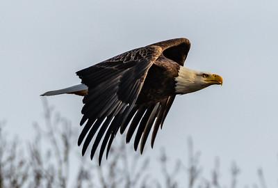 Bald Eagle in Flight 2/3/19