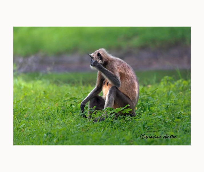 Langur in Contemplation