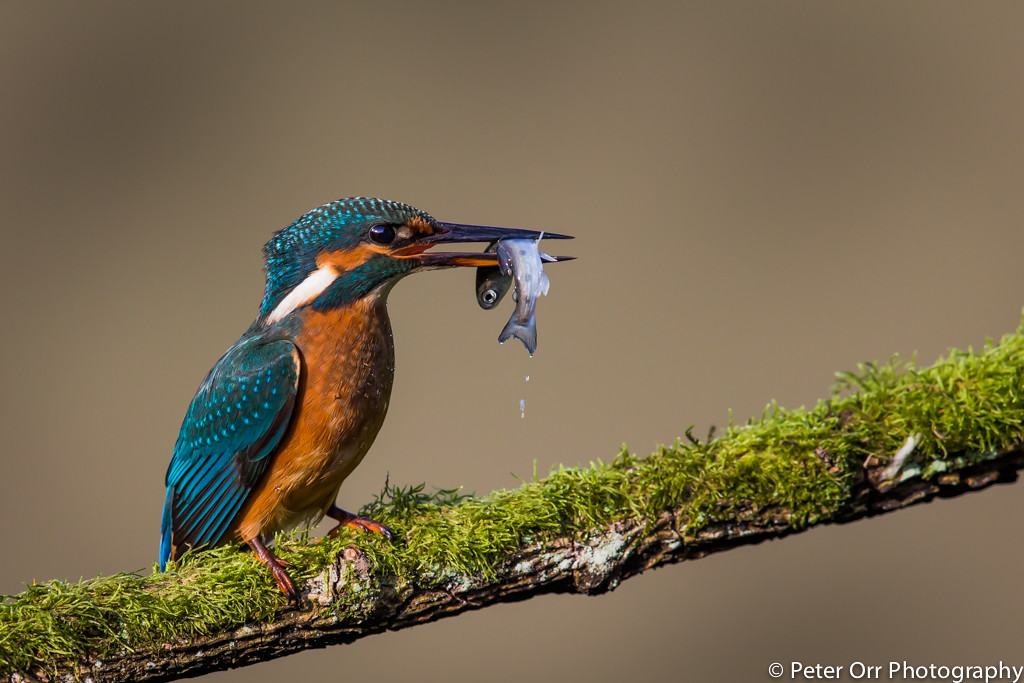 Kingfisher with Trout