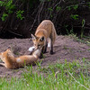Fox puppies , No 1