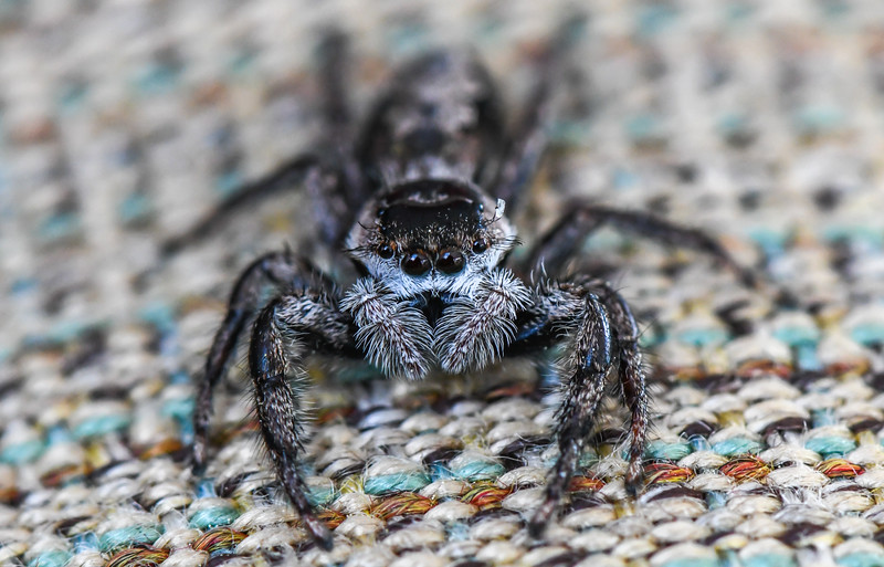 A Close-Up of a Jumping Spider 6/2/19