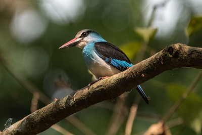 Kingfisher, Blue-breasted (spp. malimbica)