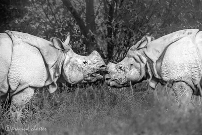 One horned Rhinos