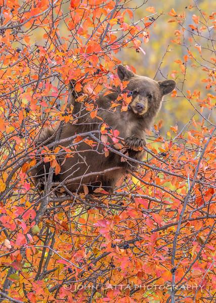 Black Bear Cub Feeding in Black Hawthorn Tree