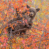 Black Bear Cub Feeding in Black Hawthorn Tree