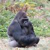 127 - Lowland Gorilla, Denver Zoo