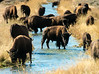 Bison in Teton National Park