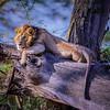 Male Lion in a Tree, Lake Nakuru National Park, Kenya, East Africa