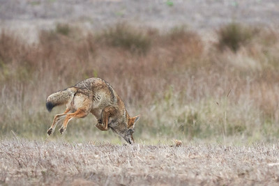 Coyote Mid Pounce