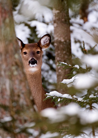 Winter Deer in Michigan's Upper Peninsula