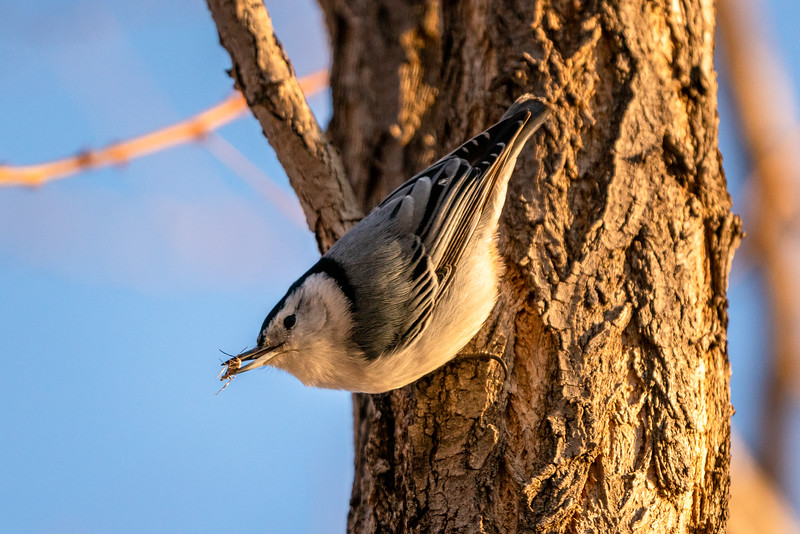 White-Breasted Nuthatch Eating Insect