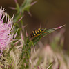 Thistle and Yellow Jacket