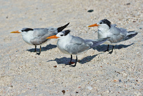 Royal Tern The  Three Amigos