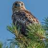 Red-Tailed Hawk 6/21/16