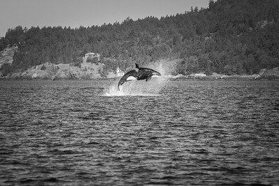 Orca ... Victoria ... Canada