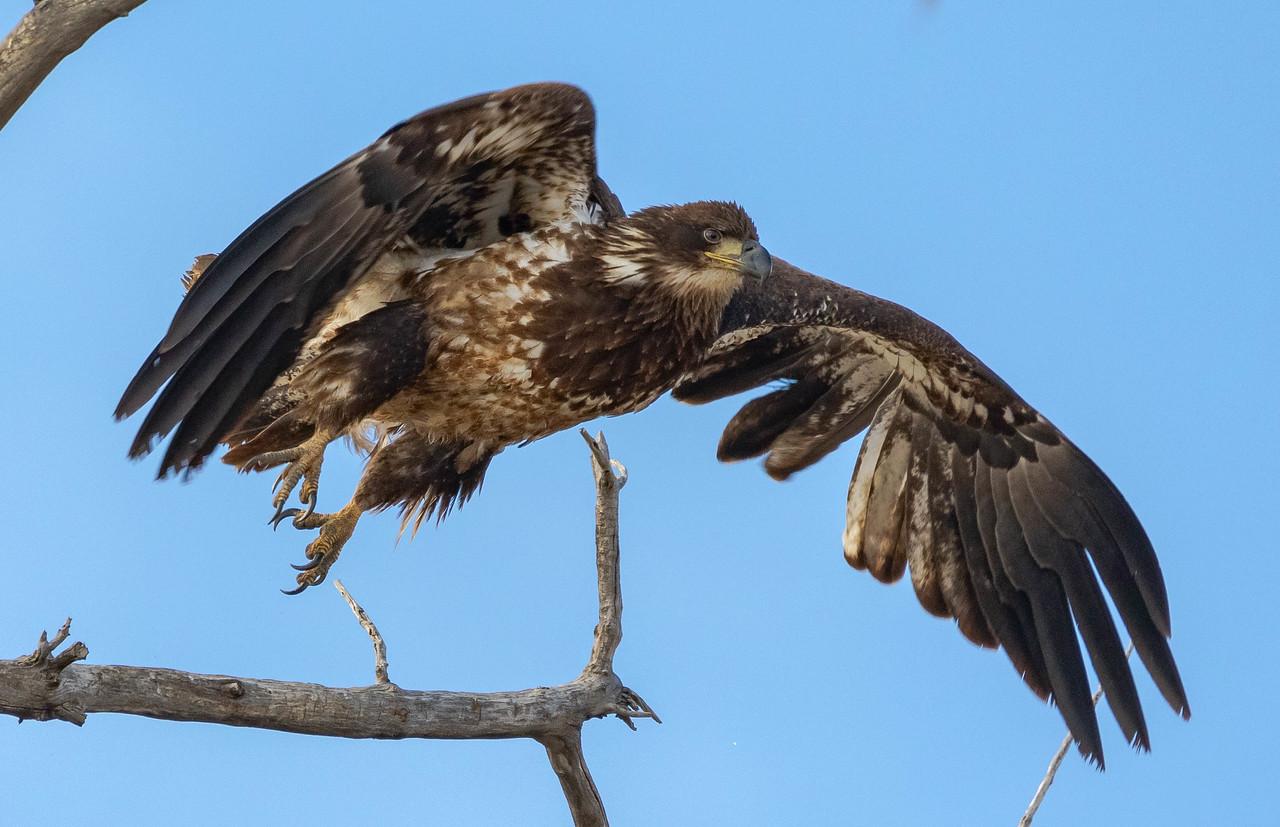 IMAGE: https://photos.smugmug.com/Wildlife/i-5Pj3Qw4/0/7fb5ec40/X2/juvi%20eagle%20launch-X2.jpg