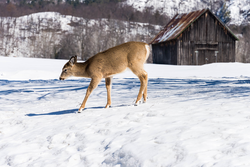 White tailed deer old barn