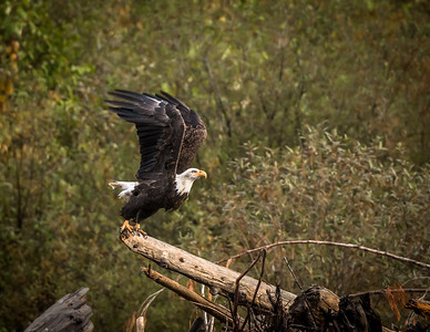 Kootenay Bald Eagle 4
