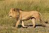 Walking male lion