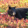 Black Bear Female and Cub in the Huckleberries
