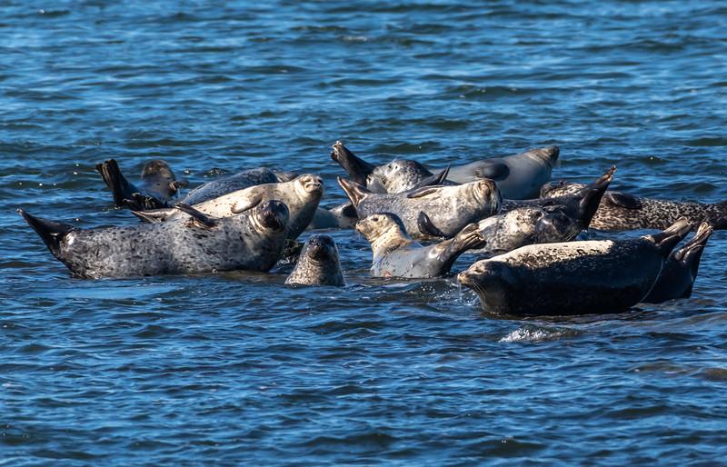 Harbor Seals Resting On The Rocks In Sandy Hook Bay 2/17/20