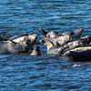 Harbor Seals Resting On The Rocks In Sandy Hook Bay 2/17/20