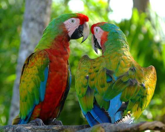 Mexican Macaws