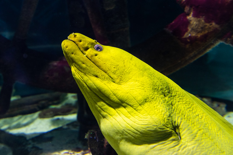 Closeup of a Green Moray Eel looking at you