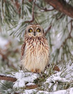 _JFF0883 Short Eared Owl