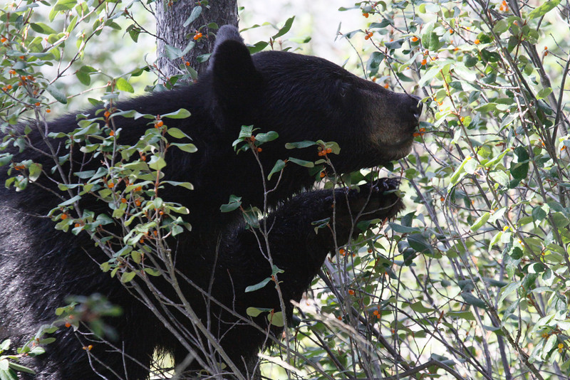 Black Bear near Banff