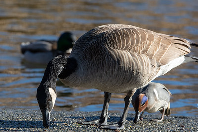 Canada Goose and Green-Winged Teal