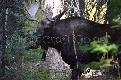 Young Bull Moose in Hiding