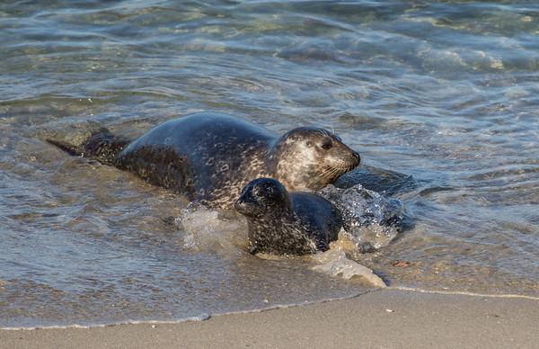 Harbor Seals | LaJolla | California