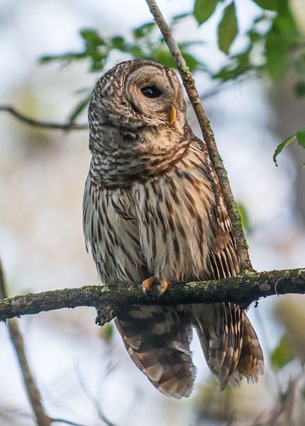 Barred Owl Looking for Lunch