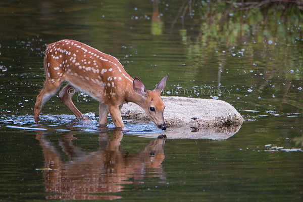 White Tailed Deer Fawn getting drink in the creek