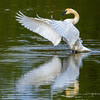 Reflections of a Trumpeter Swan