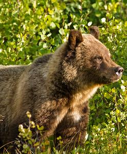 Grizzly Bear Cub, Kananaskis AB