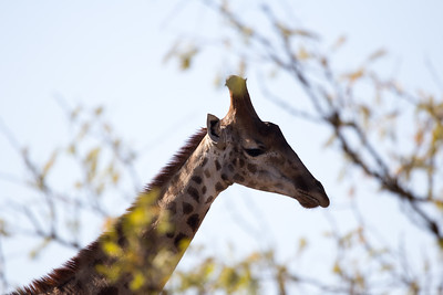 Patterned Giraffe in the morning  KwaZulu-Natal light
