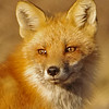 fox close up