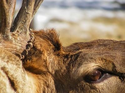 Bull Elk Detail