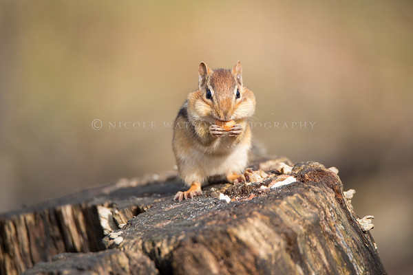 Chipmunk Filling His Cheeks