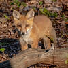 A Red Fox Kit 5/13/20