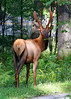 Yearling bull elk with antlers in velvet. Clinton County Pennsylvania.